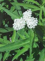 Asclepias incarnata – Ice Ballet Milkweed