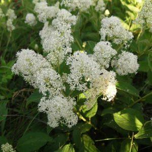 Ceanothus americanus – New Jersey Tea