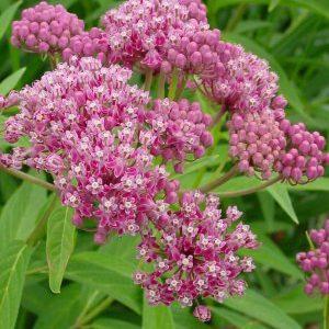 Asclepias incarnata – Swamp Milkweed