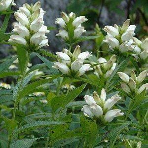 Chelone glabra – White Turtlehead – 4″ pot
