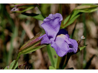 Mimulus ringens – Monkeyflower