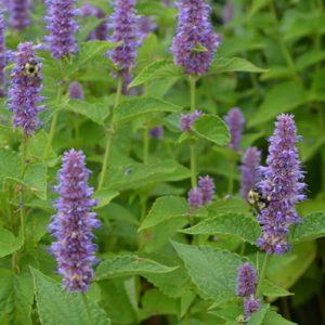 Agastache foeniculum – Lavender Hyssop