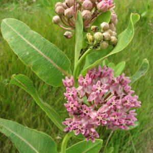 Asclepias sullivantii – Sullivant's Milkweed / Prairie Milkweed