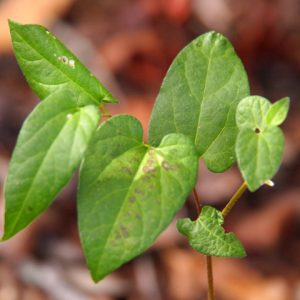 Aristolochia serpentaria – Virginia Snakeroot