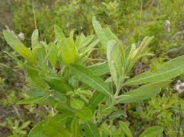 Salix humilis – Prairie Willow