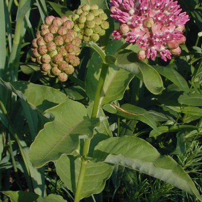Asclepias purpurascens Purple Milkweed