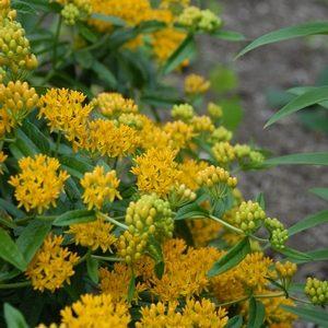 Asclepias tuberosa Hello Yellow