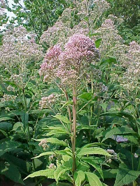 Eutrochium Purpureum Purple Joe Pye Weed Butterfly Gardens To Go