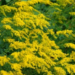 Solidago odora- Anisescented goldenrod or sweet goldenrod