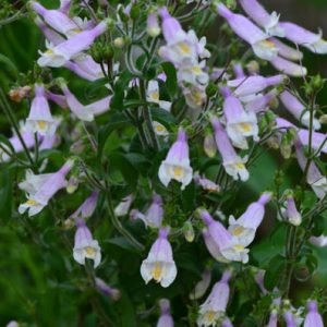 Penstemon hirsutus – Penstemon