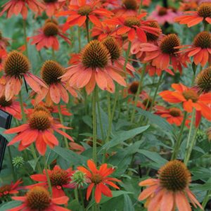 Echinacea Sombrero – 'Adobe Orange' Coneflower