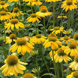 Echinacea Sombrero 'Lemon Yellow' Coneflower