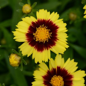 Coreopsis – UpTick™ Yellow & Red