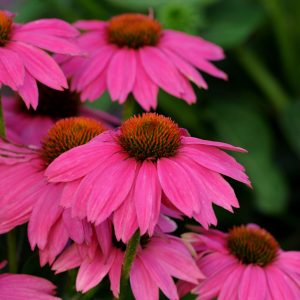 Echinacea – PowWow Wild Berry