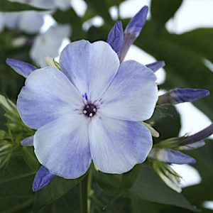 Phlox 'Flame Blue'