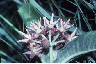 Asclepias speciosa – Showy Milkweed