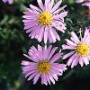Aster 'Wood's Pink'