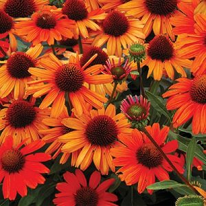 Echinacea 'Kismet™ Intense Orange'