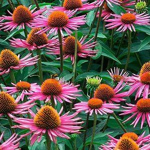 Echinacea 'Pica Bella'