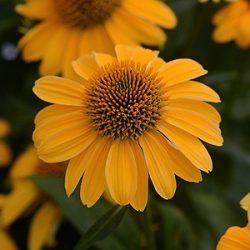 Echinacea 'Sombrero™ Granada Gold'
