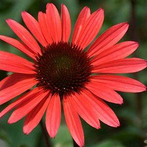 Echinacea – Solar Flare