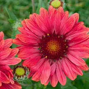 Gaillardia grandiflora – Arizona Red