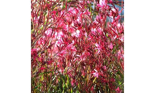 Gaura 'Crimson Butterflies'
