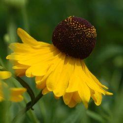 Helenium flexuosum 'Tiny Dancer'