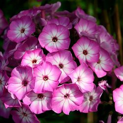 Phlox 'Flame® Purple Eye'