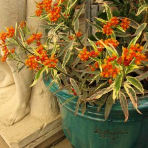 Asclepias – Monarch Promise